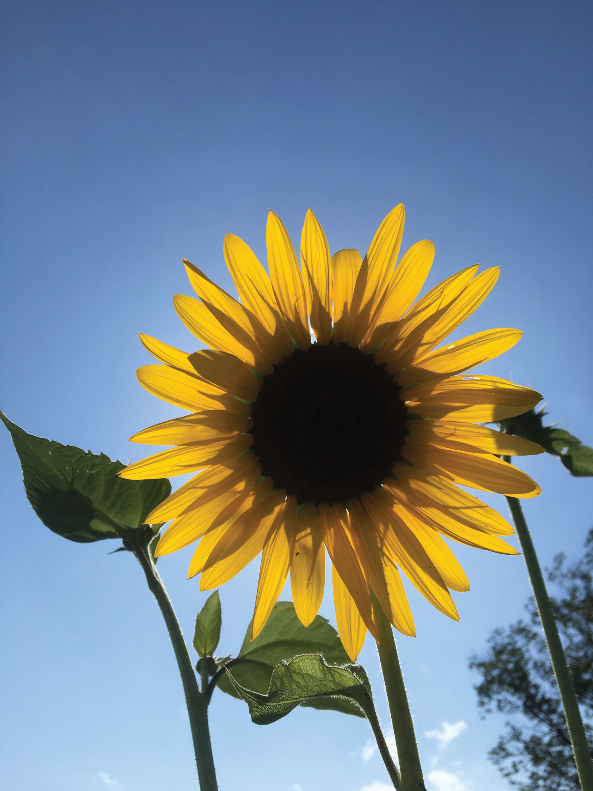 close up photo of a sunflower against a blue sky